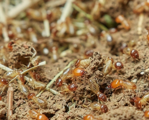 colonia de termitas