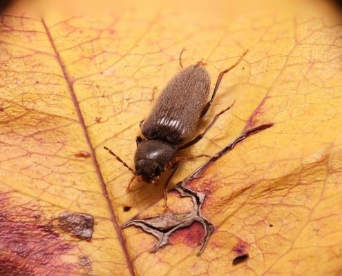 insecto carcoma